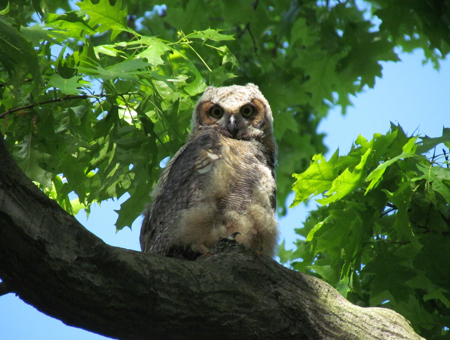 Immature Great-Horned Owl