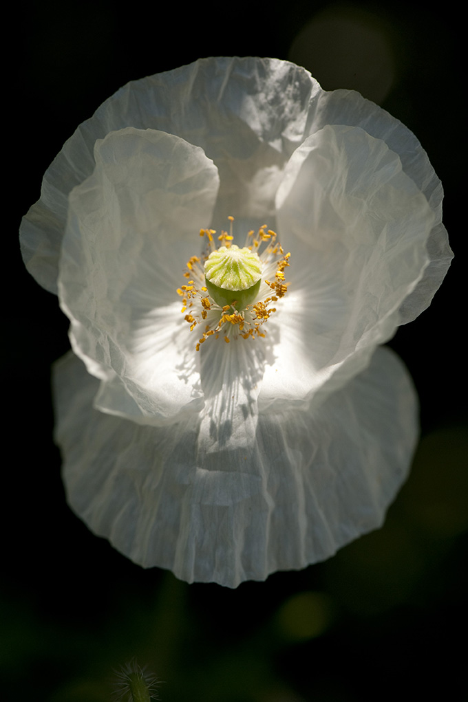 Papaver rhoeas 'Bridal Silk'