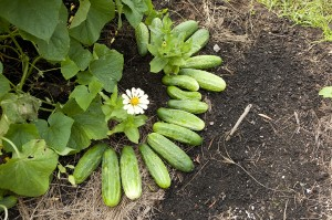 Cucumbers in the Family Garden