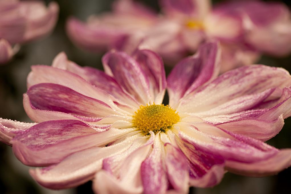 Chrysanthemum Class 7
