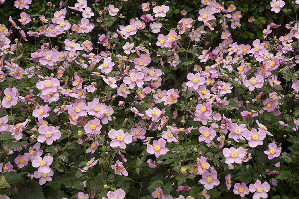 Japanese Anemone in Fall Flowers of Japan