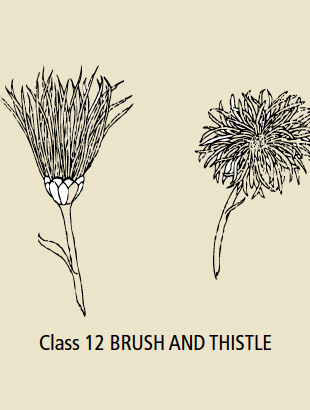 Class 12 Brush and Thistle