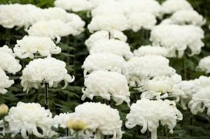 Chrysanthemums Kiku