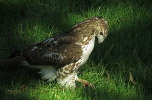 Bronx Red-Tail Hawk