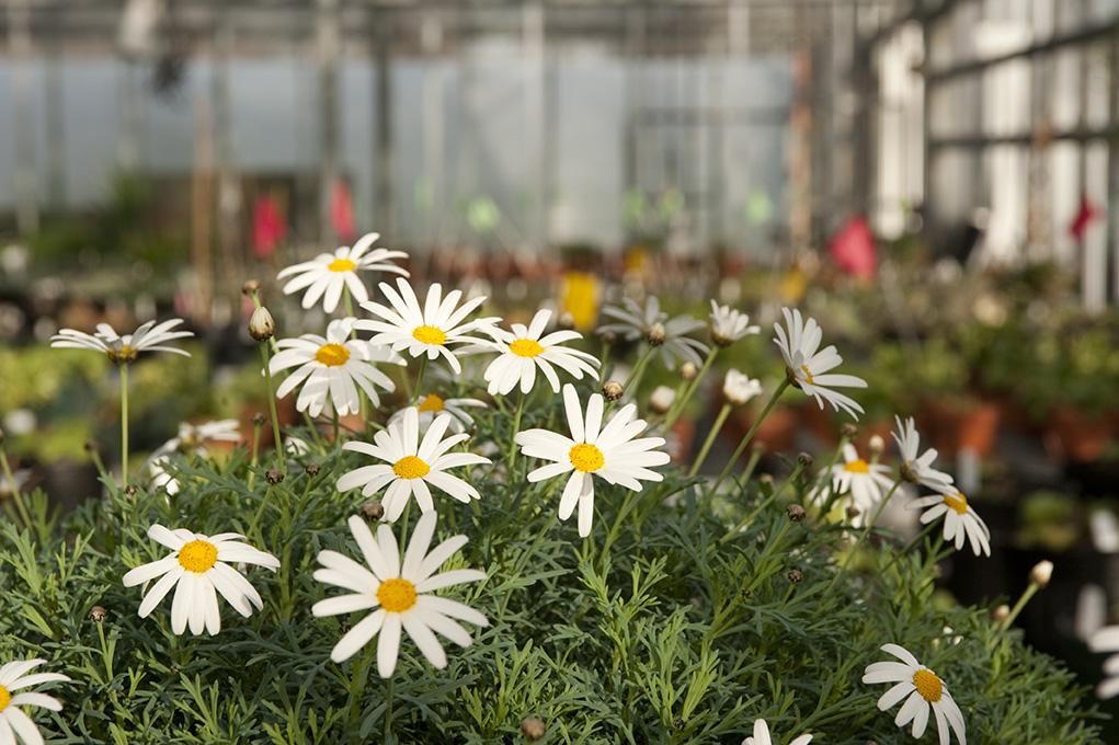 Daisies in the Nolen Greenhouses