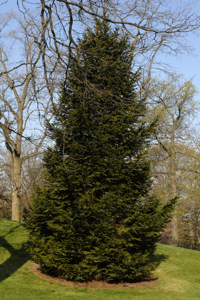 caf is an amazing specimen of norway spruce picea abies a species often known for its annual appearance as the rockefeller center christmas tree