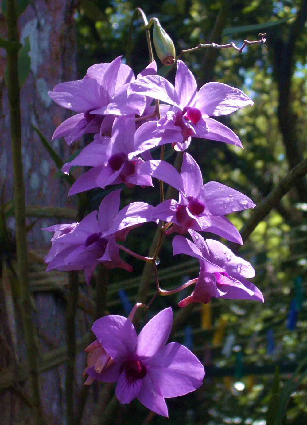 Dendrobiums Plant Talk