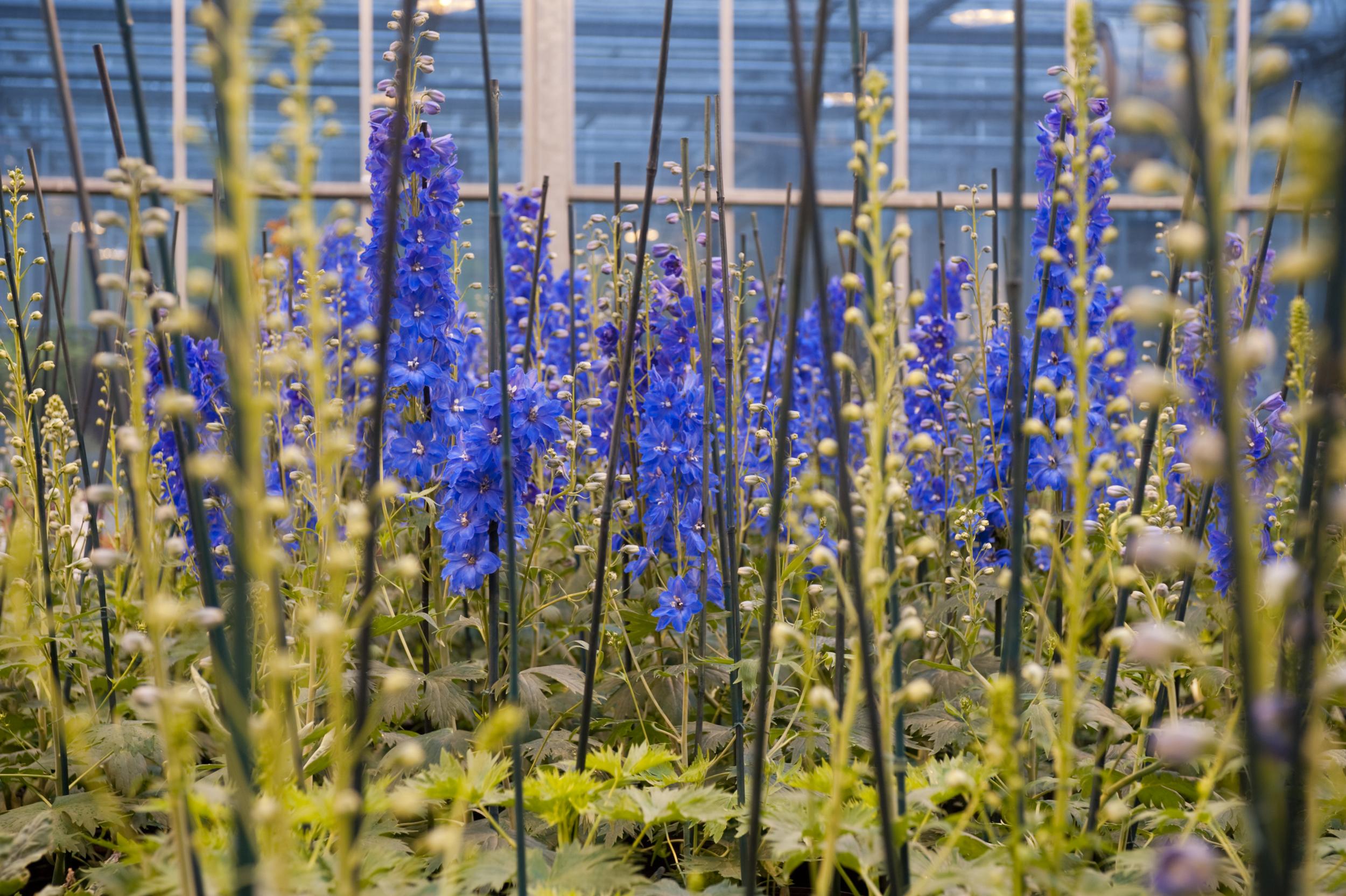 Delphinium Vivid Blues Plant Talk