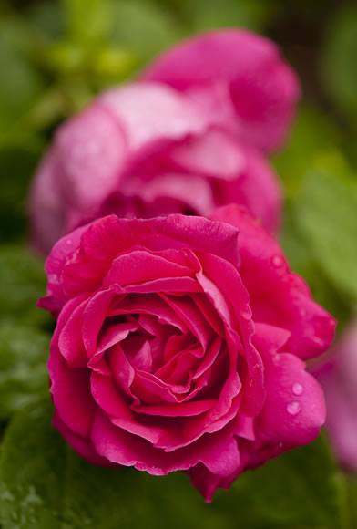Hybrid Perpetual rose Rosa 'American Beauty'