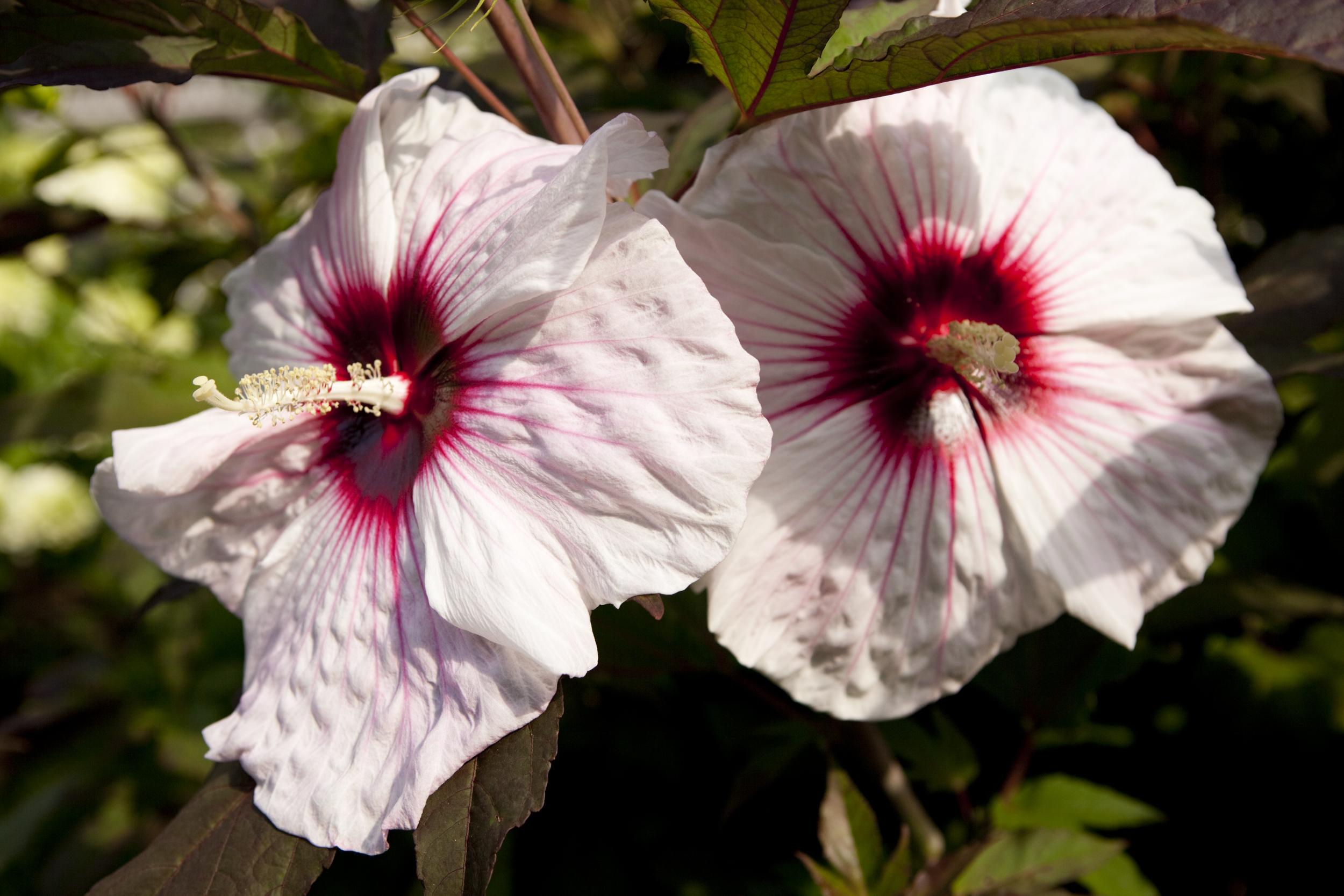 morning eye candy nebraskan tropics plant talk. Black Bedroom Furniture Sets. Home Design Ideas