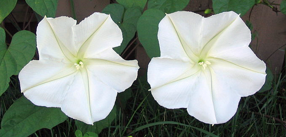 Its a marvelous night for a moonflower plant talk moonflowers prefer rich well drained soils start them from seed in the spring either nick the large seed with a file or soak in lukewarm water to mightylinksfo