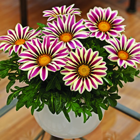 Gazania 'Big Kiss White Flame' -- 2012 AGA runner-up