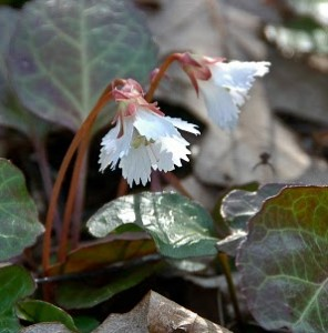 Oconee bells (photo by Natural Gardening)