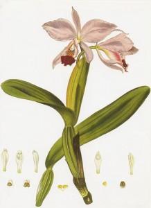 Lindley's Cattleya labiata