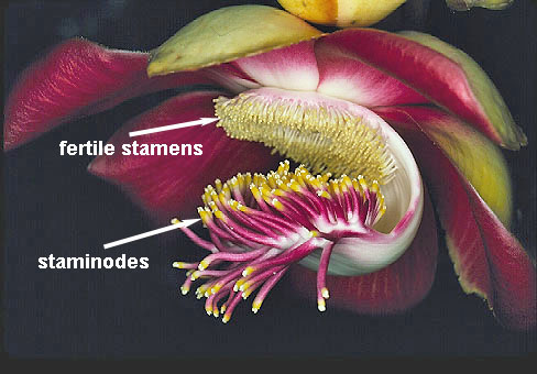 Lateral view of a cannon ball tree flower showing the location of the fertile stamens and the staminodes. Photo by Scott A. Mori.