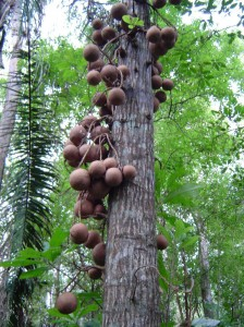 Cannon ball-like fruits of Couroupita guianensis, the cannon ball tree. Photo by L. Gamez Alvarez.