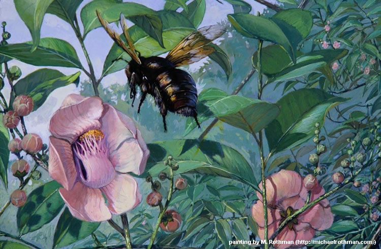 Female carpenter bees visiting flowers of the sapucaia tree. Painting by M. Rothman.