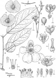 A Bobbi Angell line drawing of a plant named in her honor.