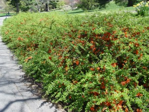 A hedge of flowering quince near the Visitor Center Tram stop.