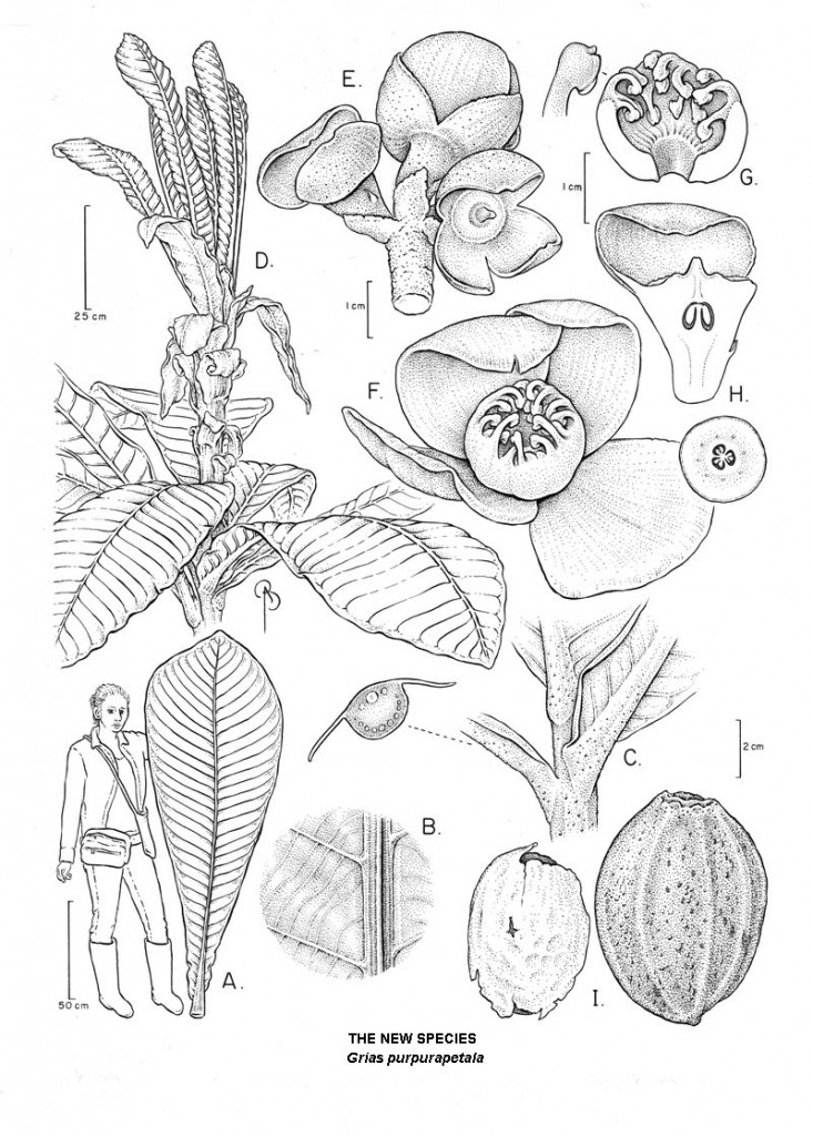 A botanical line illustration of the new species by B. Angell.