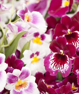 pansy-orchid-faces