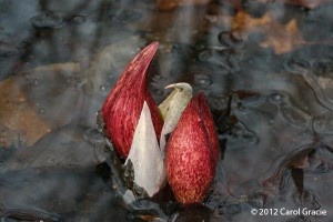 The sensuous curves of skunk cabbage inflorescences brighten a swamp in early spring.