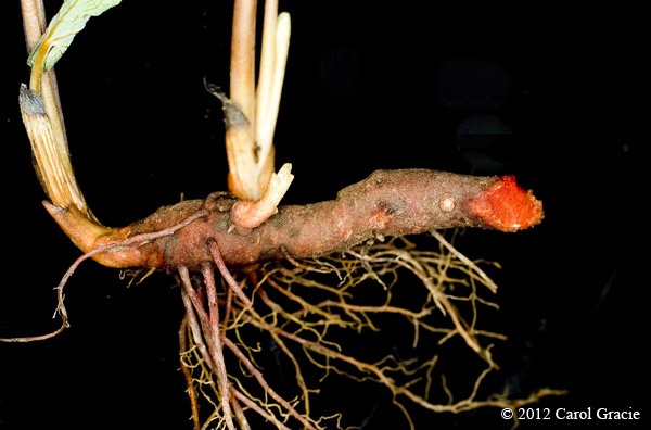 An underground rhizome of bloodroot cut to show the bright red sap.