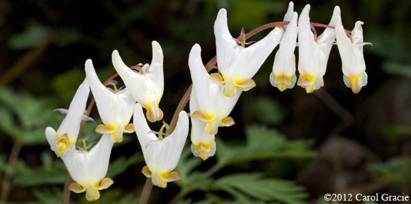 Dutchman's breeches inflorescence