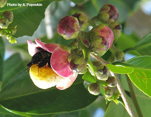 A flower of Lecythis ibiriba being visiting by a large bee seeking nectar.
