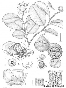The first botanical drawing of Lecythis ibiriba. Prepared by Bobbi Angell.