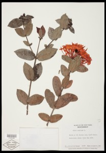 Virtual Herbarium Image