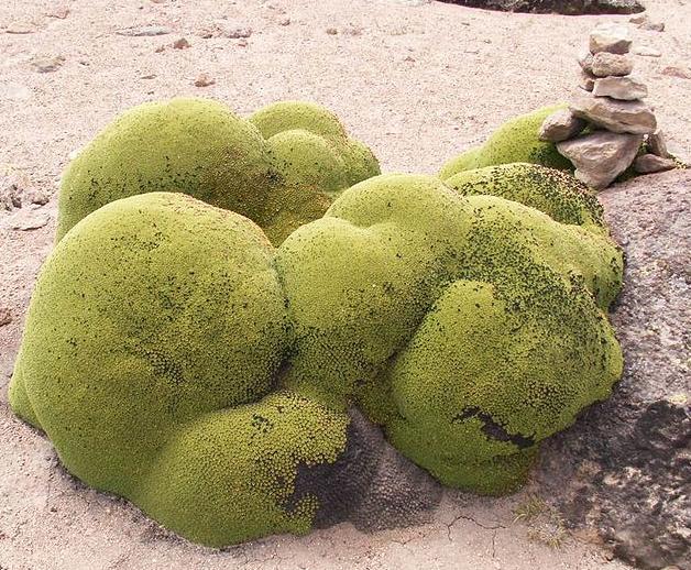 Azorella growing in Peru.