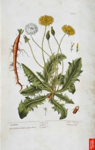 Blackwell's Dandelion