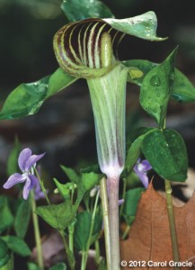 An inflorescence of Jack-in-the-pulpit showing the long spadix appendage protruding from the striped spathe.