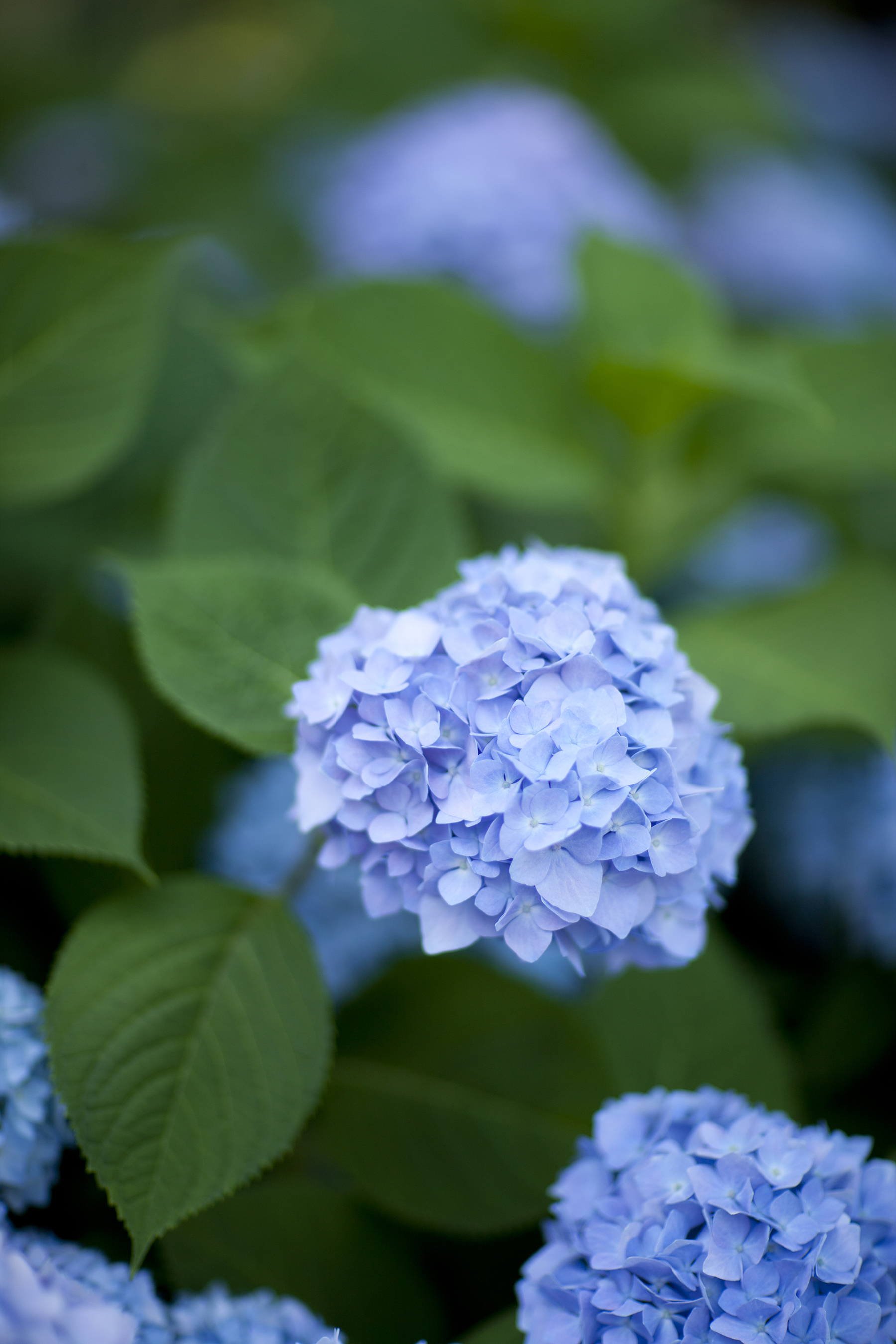 hydrangea archives plant talk