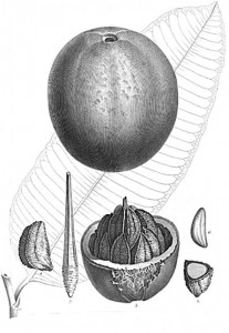 The original drawing included in the description of Bertholletia excelsaM..