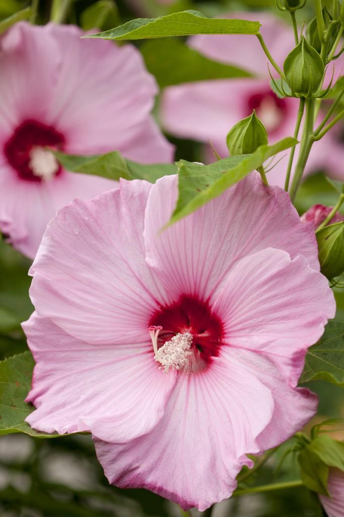 Hibiscus 'Fantasia'