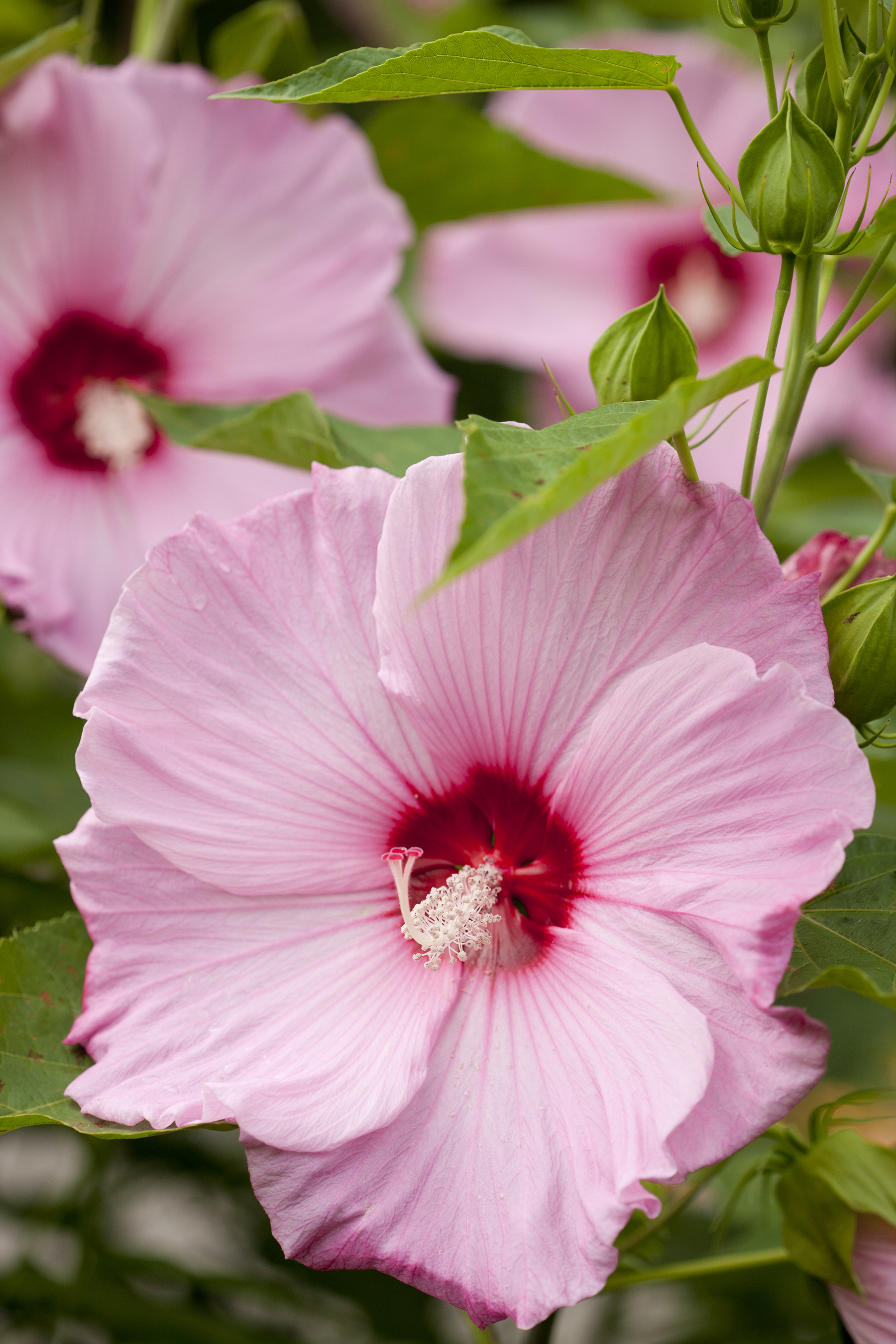 Hibiscus Archives Plant Talk