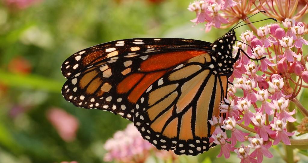 Monarch_Butterfly_Danaus_plexippus_Milkweed-1024x544