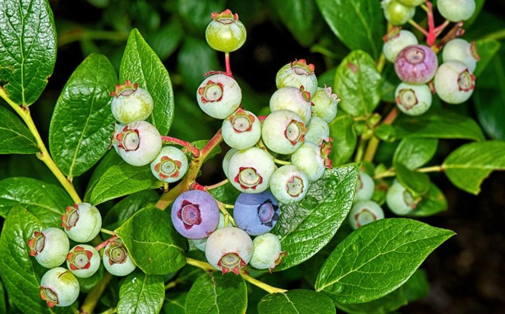 Blueberry (Vaccinium corymbosum 'Duke') — Ericaceae