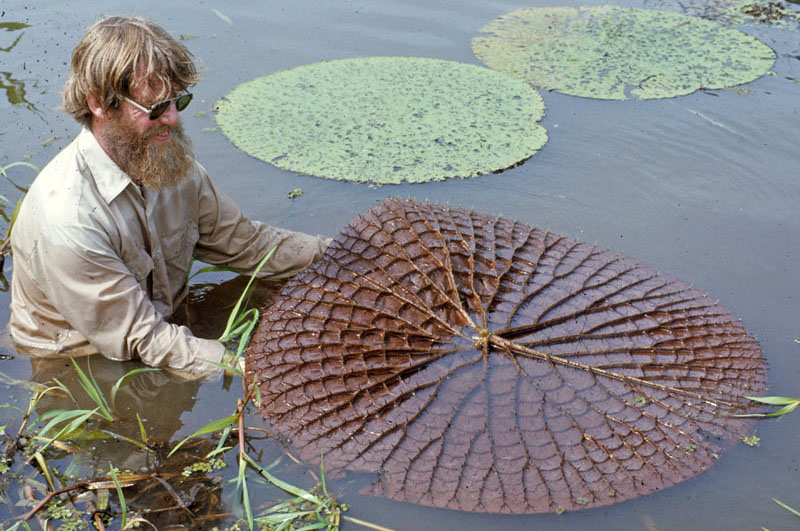 The Amazon Water Lily: Adapted to the River's Rise and Fall ...