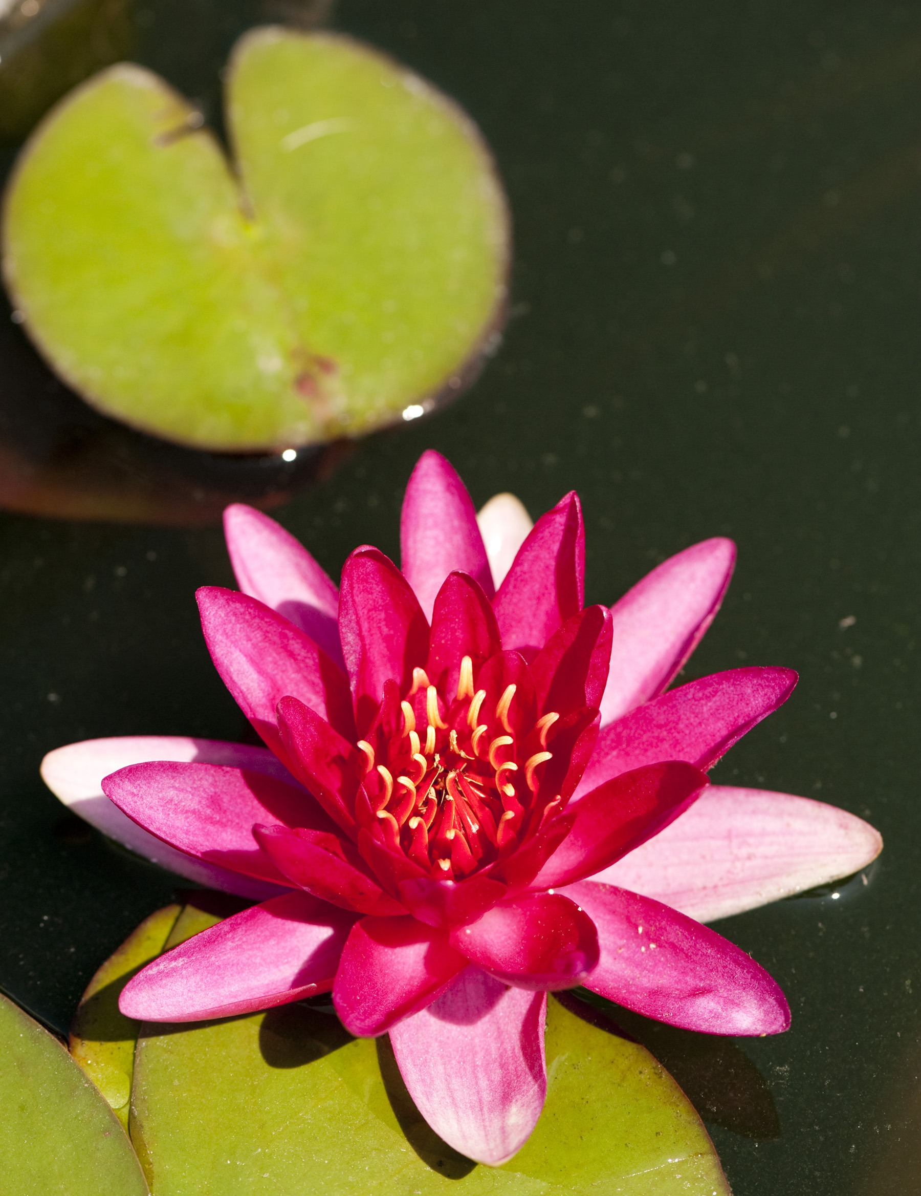 Water Lilies Archives Plant Talk