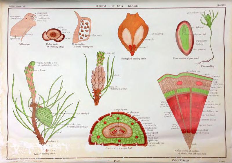 Jurica's Botanical Illustration