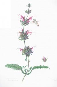 Antze Hummingbird Sage