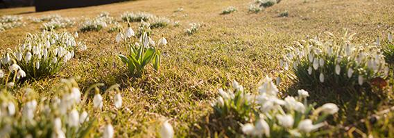 snowdrops mertz library hillside early spring