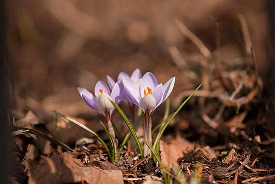 MEC-purple-crocus-568x379