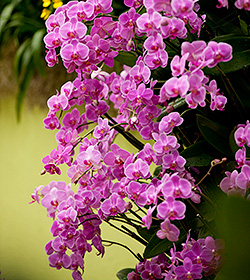 pink orchids at The Orchid Show: Key West Conteporary at The New York Botanical Garden