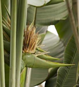 Inflorescence of the traveler's palm