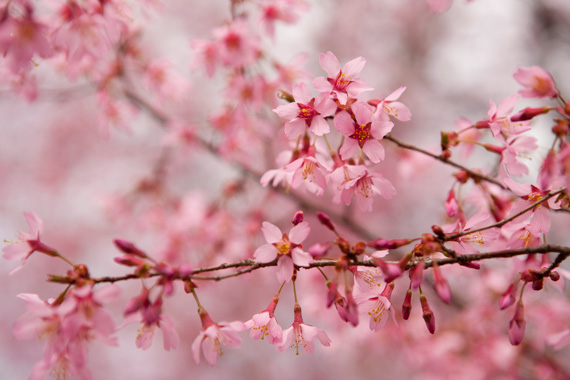 Cherry tree blossom Prunus Okame