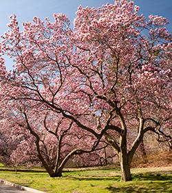 cherry blossoms nybg